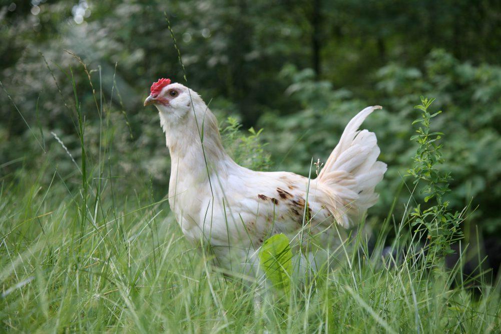 Recept voor zuurkool met kip